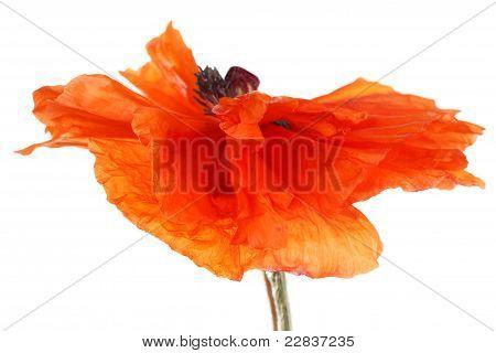 Poppy Flower In The Wind