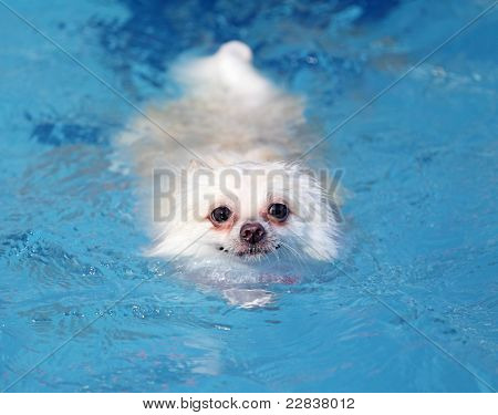 white pomeranian dog swimming in swimming pool