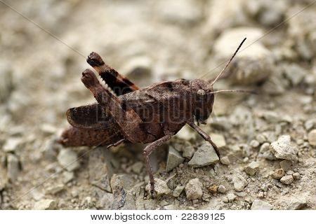 desert grasshopper, detail