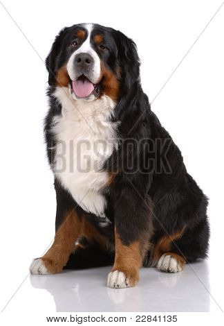Portrait Of Sitting Bern Sennenhund