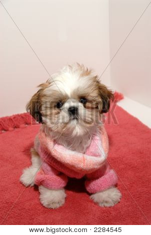 Shih Tzu Fashion