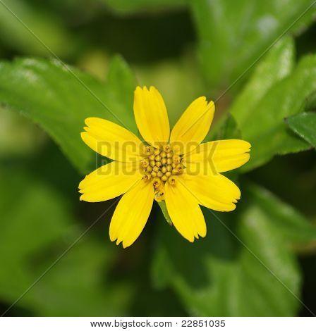 7 petal flower