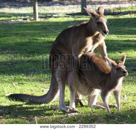 Mating Kangaroos