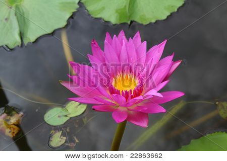 A Lotus  Or Water Lily
