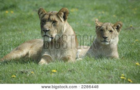 Lionandcub2