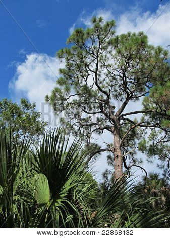 The Trees of Southwest Florida