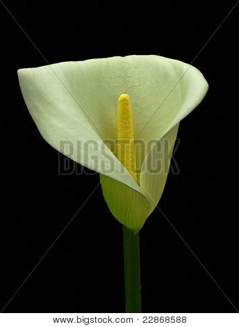 White Arum lily on black.