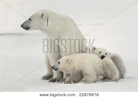Polar sie ertragen Bärin mit jungen.