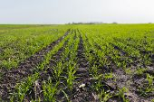 Young Wheat Crop In A Field. Crops Of Winter Wheat , Fall Wheat, White Wheat In The Spring. Rows Of  poster