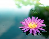 Lotus  Flower  Nature  Blossom  Beautiful  Single Pond poster