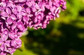 Spring Background With Lilac Flowers. Blooming Lilac Flowers Lit By Sunlight. Selective Focus At The poster