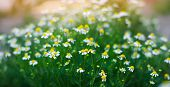 Field Of Chamomile Close-up. Beautiful Meadow On A Sunny Day. Summer Flowers. Natural Wallpaper. Nat poster
