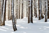 Snow Covered Tree Trunks In Winter Forest With Magical Light, Wintry Wonderland, Vitosha National Pa poster