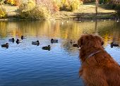 stock photo of piety  - Dog watching ducks swimming in lake during sunset - JPG