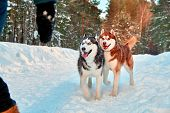Funny Siberian Husky Dogs Run For The Hostess For A Walk In The Winter Forest. Black And White And R poster