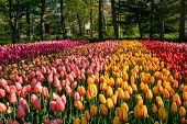 Blooming tulips flowerbed in Keukenhof flower garden, also known as the Garden of Europe, one of the poster