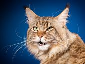 Portrait of funny Maine Coon cat. Close-up studio photo of beautiful big adult black tabby cat on bl poster