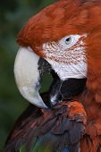 picture of polly  - portait of a scarlet macaw preening itself  - JPG