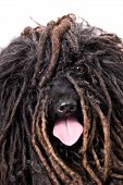 picture of hairy tongue  - Close up head study of a Puli dog on a 255 white background - JPG