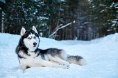 Beautiful Siberian Husky Lying On Snow In Winter Forest. Cute Black And White Husky Dog With Blue Ey poster