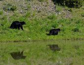 picture of mating bears  - two black bears walk by a pond - JPG