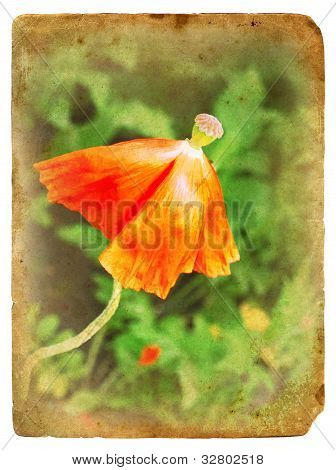 Overblown Poppy. Old Postcard.