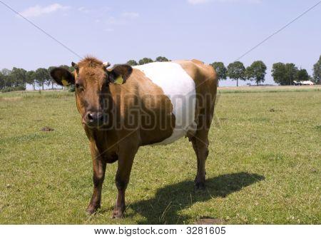 Beautiful Lakenvelder Cow