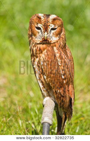 Eurasian Tawny Owl Or Strix Aluco