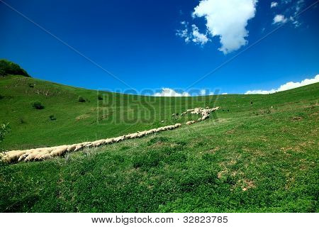 Sheep herd on sunny day