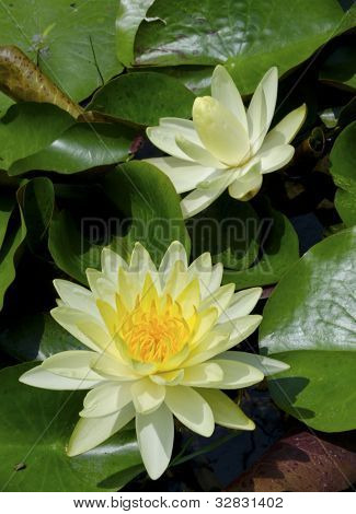 Blooming Yellow Lotus Flower