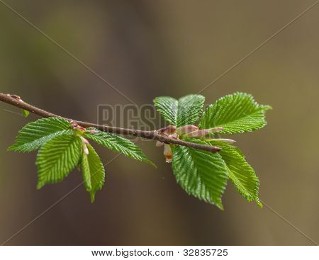 Hazel branch with leaves
