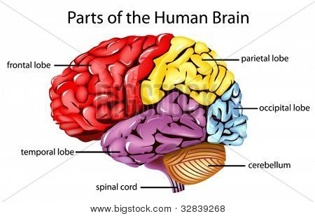 Illustration of parts of the brain