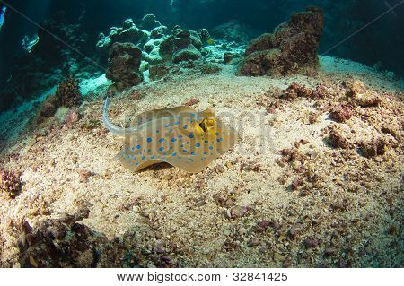 Blue-spotted Stingray On The Sea Bed