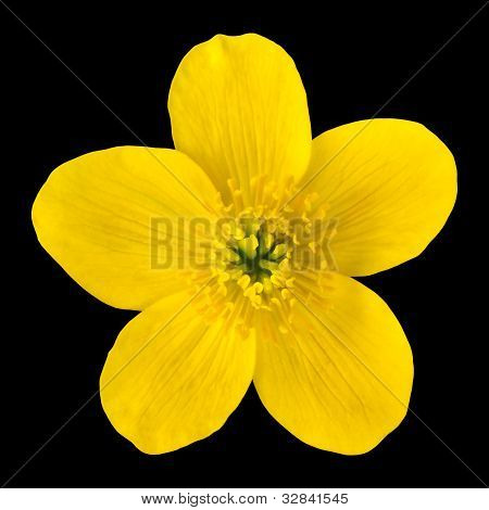 Marsh Marigold Yellow Flower Isolated On Black