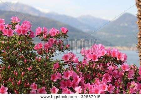 Azalea Flowers Against The Alps And Maggiore Lake In Italy