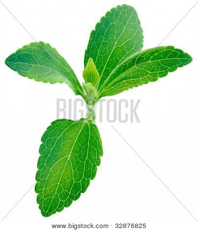 Stevia rebaudiana, sweet leaf plant, sugar substitute isolated on white background with copy space