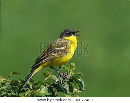 singen gelbe Bachstelze