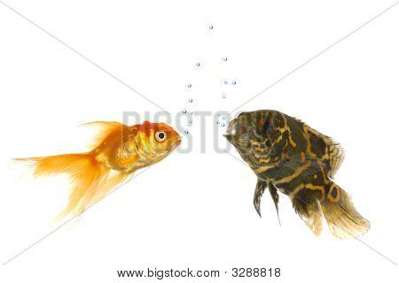 Peces de colores y peces de Oscar Tigre