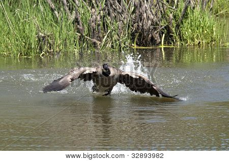 Goose Prepares To Land In Water.