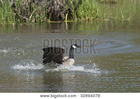 Goose Settles After Landing.