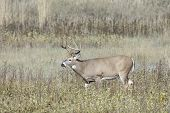 A White Tail Buck Grazes In The Grassland At The National Elk And Bison Range In Montana. poster