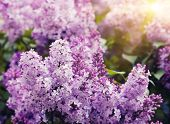 stock photo of lilac bush  - Close - JPG