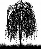 stock photo of weeping willow tree  - Silhouette of a weeping willow tree in grass - JPG