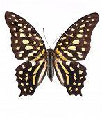 Постер, плакат: Хвостатые Джей Graphium Агамемнона бабочка изолированные на белом