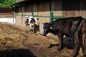 stock photo of feedlot  - black and white cows close to a cowshed - JPG