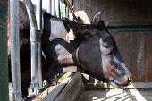 picture of feedlot  - black cow in a cowshed concept of captivity - JPG