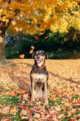 Funny Cute Female Dog Sitting On Ground In Park Among Autumn Fall Yellow Red Leaves. Adorable Domest poster