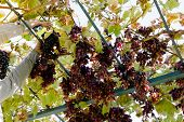 Man Crop Ripe Bunch Of Red Grapes On Vine. Vintner Man Picking Autumn Grapes Harvest For Food Or Win poster