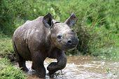 Постер, плакат: Baby черный носорог