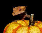 Crested Gecko Pumpkin poster
